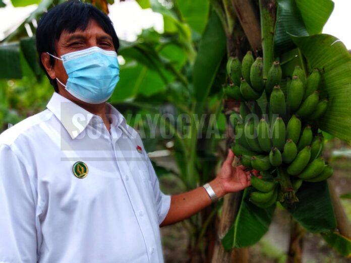 Bambang Dwi Hatmoko Purnomohadi yang adalah Pegawai Negri Sipil DPP Kota Yogyakarta yang tekun mengelola Kebun Plasma Nutfah Pisang (KPNP) Kota Yogyakarta. Foto: Gaga Sallo