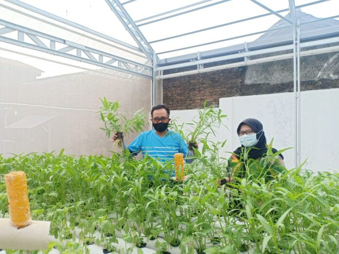 Wakil Walikota Yogyakarta, Heroe Poerwadi melakukan panen sayur organik di Kaidrop kebun hidroponik dan budidaya ikan lele pada Jumat pagi (04/06/2021) di Kampung Mantrijeron, Yogyakarta.